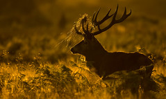 Red Deer (oddie25) Tags: canon 1dx 600mmf4ii deer stag rutt richmond richmondpark wildlife wildlifephotography nature autumn london