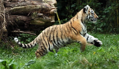 siberian tiger Duisburg JN6A7693 (j.a.kok) Tags: tijger tiger tigercub siberischetijger siberiantiger amoertijger amurtiger duisburg pantheratigrisaltaica cub cat predator