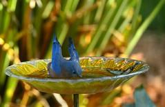 Refreshing dip DSC_0104 (blthornburgh) Tags: thornburgh tampa florida backyard bird songbird easternbluebirdsialiasialis easternbluebird bluebird garden nature blue birdbath