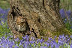 Favorite Tree (Chris Sweet 85) Tags: owl tawnyowl bwc woods nature nikon nikond7100