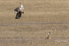 Red-tailed Hawk attacks Jackrabbit - Sequence - 1 of 8
