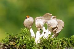 Mini World (Vie Lipowski) Tags: ladybug ladybird ladybeetle spotlessladybug cyclonedamunda polishedladybug oystermushroom pleurotusostreatus mushroom mushrooms insect beetle bug fungi fungus shroom shrooms wildlife nature macro