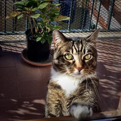 Open   #😺 #🐱  #igerslaspezia #sarzana  #VitaDaAmelie #casabiondine #hersarzana    #catsofinstagram #instagramcats #gattidiinstagram #catofinstagram   #ilovemycat #catoftheday #cutecat #catlovers #catlover   #lovecats #vscoitaly #vscoitalia