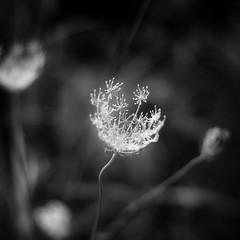 Summer Wildflowers 031 (noahbw) Tags: captaindanielwrightwoods d5000 dof nikon abstract blackwhite blackandwhite blur bw depthoffield flowers forest light minimal minimalism monochrome natural noahbw square summer woods