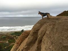 Fort Funston, SF, 10/12/16 (serialplantfetishist) Tags: dogs smokey heidi beach sf