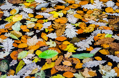 Last of Autumn 8 (Lensjoy) Tags: autumn fallseason leaves autumnfoliage vividcolours serene botanicalgardens ogródbotaniczny lensjoy pattern vividcolors leavesonwater