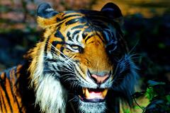 Male Sumatran Tiger, Keahi of Ueno Zoo   (Dakiny) Tags: 2016 autmn november japan tokyo taito ueno outdoor nature park uenopark zoo uenozoo animal mammal carnivore feline savagebeast beastofprey bigcat tiger sumatrantiger yellow keahi nikon d7000 sigma apo 70200mm f28 ex hsm apo70200mmf28dexhsm sigmaapo70200mmf28dexhsm nikonclubit