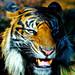 Male+Sumatran+Tiger%2C+Keahi+of+Ueno+Zoo+%EF%BC%9A+%E3%82%B9%E3%83%9E%E3%83%88%E3%83%A9%E3%83%88%E3%83%A9%E3%81%AE%E3%82%B1%E3%82%A2%E3%83%92%E2%99%82%EF%BC%88%E4%B8%8A%E9%87%8E%E5%8B%95%E7%89%A9%E5%9C%92%EF%BC%89