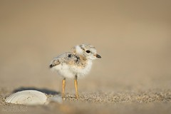 Plover + Shell (slava_kushvalieva) Tags: birds endangered newjersey plovers pipingplover sandyhook adorable beach black bright brown chick cute fluffy fuzzy groundlevel lowangle orange sand shell small sunny tan tiny yellow
