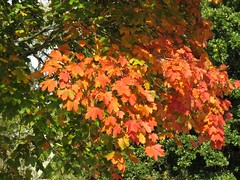 5131 Sycamore autumn colour at Plas Newydd (Andy - Daft as a brush - don't ask!) Tags: 20161021 aaa autumncolour brynsiencyn ccc cymru nationaltrust northwales ooo orange plasnewydd red rrr sss sycamore tree ttt