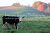 Amish Cow Early Morning  5788 (intricate_imagery-Jack F Schultz) Tags: jackschultzphotography intricateimageryphotography amishcountry ohioamish southeasternohio fallcolor cow animals