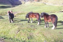 Horses at Heap Clough (mrrobertwade (wadey)) Tags: mrrobertwade rossendale robertwade lancashire wadeyphotos haslingden milltown pennines