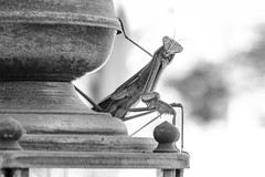 Mantis (Joshua_Downey) Tags: mantis praying bug insect bw monochrome nature outdoors pose posture eyes brass beauty fine art