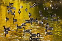 a golden bath ... (mariola aga) Tags: belviderepark belvidere autumn park river water trees leaves golden color birds goose canadagoose reflection