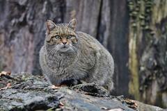 Wildkatze (Hugo von Schreck) Tags: hugovonschreck cat wildkatze wildcat outdoor germany europe hainburg hessen deutschland canoneos5dsr tamronsp150600mmf563divcusda011 tier animal