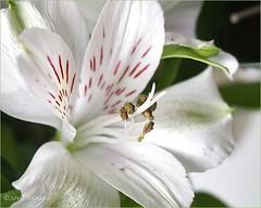 A Sunday flower ( Annieta ) Tags: annieta november 2016 sony a6000 nederland netherlands bloem flower fleur flora tijgerlelie lily macro heart hart stuifmeel wil white blanc allrightsreserved usingthispicturewithoutpermissionisillegal