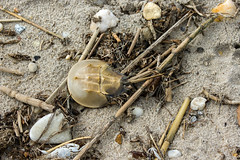 horseshoe crab (Black Hound) Tags: delaware sony kittshummock beach a500 minolta horseshoecrab