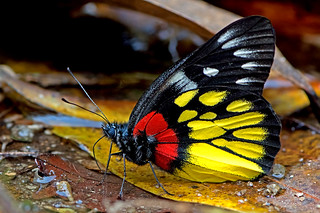 Delias pasithoe - the Red-base Jezebel (male)