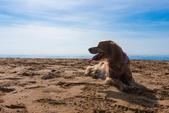 Ruta del domingo. (pepesanmartn) Tags: dog pet sherlock animal sunday beach route walk mountain redhead water sea horizon morning light sun sunny sand sky calblanque views nature outdoor