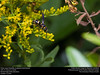 Potter wasp (Vespidae, Euodynerus foraminatus) (insectsunlocked) Tags: hymenoptera vespidae eumeninae potterwasp