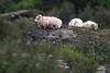Island (Thomas Berg (Cottbus)) Tags: geo:lat=6438368000 geo:lon=2127526167 geotagged hvanneyri isl island vesturland iceland islande islanda