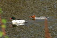 Common Merganser pair (Delta Naturalists Casual Birding) Tags: 201414 dncb colony dncblocation