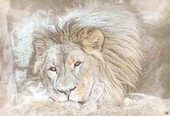 Winter Time Lion (ELAINE'S PHOTOGRAPHS) Tags: lions animals wildlife nature bigcats cats felines