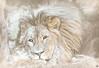 Winter Time Lion (ELAINE'S PHOTOGRAPHS) Tags: lions animals wildlife nature bigcats cats felines