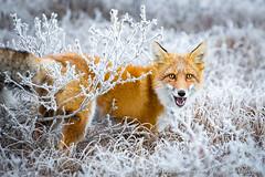 Pleased to Meet You (David Swindler (ActionPhotoTours.com)) Tags: arctic daltonhighway fox wildlife winter redfox snow alaska surprise dalton