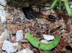 Szczerklina piaskowa // Ammophila sabulosa 4/6 (stempel*) Tags: ammophila sabulosa szczerklina piaskowa owad insect makro polska poland polen polonia stańczyki pentax k30 50mm macro
