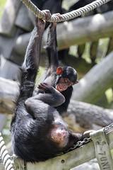20-11-2016-taronga 788 (tdierikx) Tags: 20112016taronga tarongazoo taronga tdierikx chimpanzee sudi sembe
