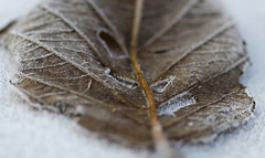 The Lonely Leaf.. (Philip R Jones) Tags: frost ice fall autumn winter cold freezing crystal icecrystal macro