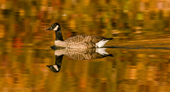 Thanksgiving Goose (danielusescanon) Tags: lakeneedwood canadagoose swimming fall color reflection birdperfect animalplanet maryland