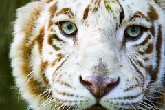Eyes of the albino tiger (tejaskamble41) Tags: tiger albino face closeup eyes green white brown stripes pattern animal cat feline fur beautiful wildlife mammal nature fauna rare endangeredspecies environment nose whiskers head