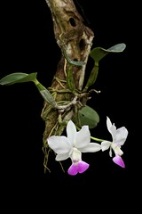 C. walkeriana var. semi-alba (rog2046) Tags: mounted orchid flower white red