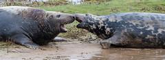 unwanted attention (tsd17) Tags: greyseal uknature natgeo sigma150600 7dmk11 donna nook lincolnshire wildlifetrust