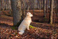 *** Inoubliable ! *** (Thierry1949) Tags: sugar chambord foret 2005 chien golden retriever compagnon automne d50 pasbouger