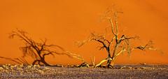 Dead Tree Dune Shadows (Panorama Paul) Tags: paulbruinsphotography wwwpaulbruinscoza namibia namibnaukluftnationalpark dune acacia tree sand sunset nikond800 nikkorlenses nikfilters panorama