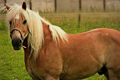 Haflinger, 75281/7614 (roba66) Tags: tier tiere animal animals creature pferd horse cheval chevaux caballo trabalho roba66 haflinger leonberg germany deutschland