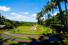 Arrozales de Blimbing (fns-k) Tags: agricultura arroz asia bali campo campos cereales espaa europa gusto indonesia islasbaleares mallorca sentidos
