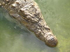 Aligator (@ FS Images) Tags: tieresdafrikatieparklandwasser aligator liegend kopf aufwasseroberflchetreibend canon eos 600d outdoor landschaft natur