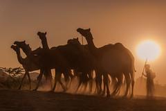 I am the good shepherd (Karunyaraj) Tags: shepherd camel camelherder camelfair camelfair2016 goldentones golden goldenhour goldendust herder sun sunset sunrays pusharfair cwc cwc561 chennaiweekendclickers nikond610 d610 fullframe nikon24120