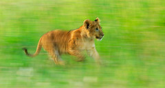 Cub on the Run (markrellison) Tags: africa wild animal animals cub iso200 kenya wildlife lion f10 panning lightroom slowshutterspeed masaimara wildanimals eastafrica pantheraleo 420mm 120sec kicheche lrcc ef300mmf28lisusm14x canoneos5dmarkiii kichechemaracamp maranorthconservancy lightroomcc