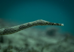 Pipefish (Jose Fontenla Photography) Tags: ocean life sea fish water puerto marine underwater philippines dive trumpet shrimp scuba diving nudibranch wreck galera harlequin trigger