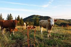 die Khe und der Sonnenaufgang (welenna) Tags: summer mountains animals switzerland tiere kuh cow berge alpen sonnenaufgang gantrisch