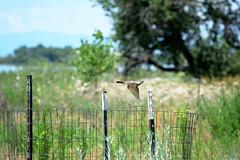 western kingbird? (heartinhawaii) Tags: bird nature flying inflight colorado wildlife adamscounty birdinflight kingbird barrlake barrlakestatepark westernkingbird coloradonature coloradowildlife coloradobird nikond3300