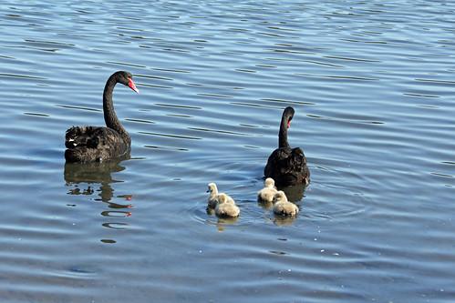 Swan &Cygnets