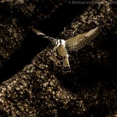Hovering (michael heyns) Tags: zimbabwe hovering piedkingfisher manapools bontvisvanger manapoele zim2015