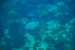 20150829-DSC_9415.jpg (d3_plus) Tags: sea sky fish beach japan scenery underwater diving snorkeling  seaturtle shizuoka    apnea izu j4  waterproofcase    skindiving minamiizu        nikon1 hirizo  1030mm  nakagi 1  nikon1j4 1nikkorvr1030mmf3556pdzoom beachhirizo misakafishingport  1030mmpd nikonwpn3 wpn3