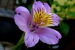 Flor Astromelia  /  Persppq_0005a (João Batista**) Tags: flower nature natureza flor astromelia
